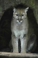 Cougar (ucumari photography) Tags: mammal nikon d70s northcarolina bigcat puma cougar nczoo 2007 northcarolinazoo mountianlion ucumari animalkingdomelite ucumariphotography anawesomeshot impressedbeauty 2animal