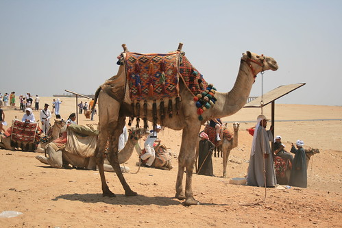 Camel in front of the Pyramids