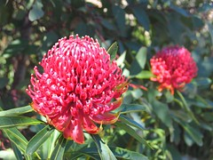 Waratah (Benni Boy) Tags: red flower garden bokeh sydney australia bluemountains nsw bloom waratah benniboy