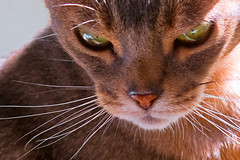 Gita (key lime pie yumyum) Tags: selfportrait cat delete9 delete5 delete2 delete6 delete7 bast save3 delete8 delete3 save7 save8 delete delete4 save save2 save9 save4 meow save5 save10 save6 abyssinian savedbythedeltemeuncensoredgroup morecatsinfolio