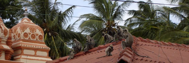 Langurs on the Roof