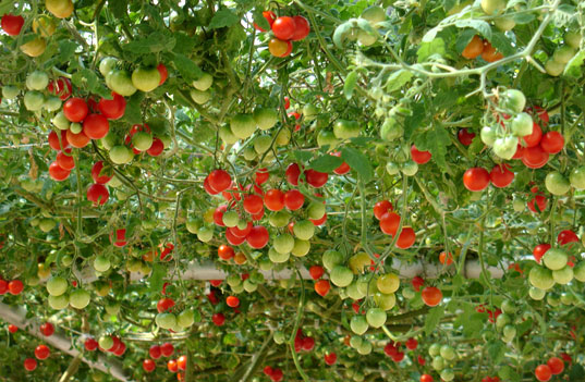Endless Tomatoes