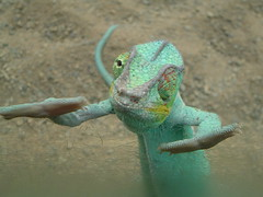 DJ Chameleon (marfis75) Tags: green nature animal germany deutschland zoo hands flickr dj fuji dancing frankfurt natur cc f30 german finepix creativecommons rap chameleon rapper glas bilder reptiles tier tanzen deutsch zoologischergarten echse reptil zootier musicmaker chamleon topshot rango zootiere topshots ccbysa flickrsbest tierisch exotarium freienatur lmaoanimalphotoaward deutschlandinbildern freenature heartawards heartaward brppc07 heardawards marfis75 marfis75onflickr