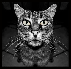 Mini (Mr.Pitone) Tags: life portrait blackandwhite bw cat blackwhite bn gatto biancoenero bnanimali bnritratto d40x