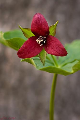 Wake Robin Purple Trillium