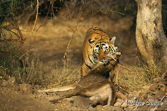 Tiger with a spotted deer kill (dickysingh) Tags: wild india nature outdoor wildlife tiger aditya ranthambore singh ranthambhore dicky tigerkill ranthambhorebagh bfgreatesthits adityasingh dickysingh ranthamborebagh baengaltiger tigerdraggingaspotteddeerbigcat theranthambhorebagh