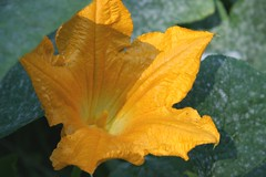 pumpkin flower 2