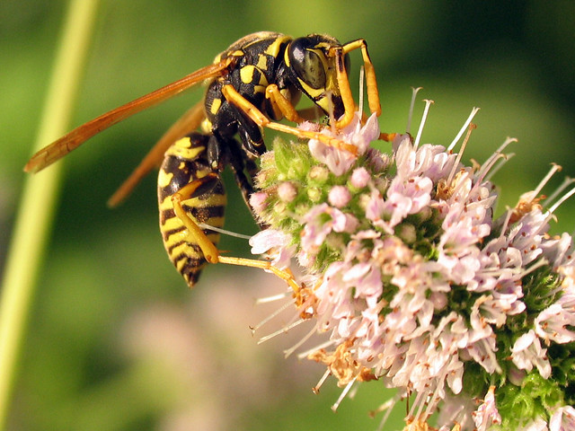 European Paper Wasp (Polistes dominula) male