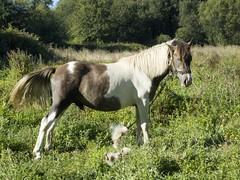 Caballito (Perchern) Tags: espaa horse naturaleza nature animal caballo spain corua espanha die fuji natural natur meadow natuur natura s galicia pasto finepix prado prairie paysage der macho espagne paysages gusto spanien spagna spanje pradera naturelle fd potro spania extraa eine frage gestos meando  naturel postura kwestie hiszpania randonnes viste  naturalism ispanya pastando 6500 spanyolorszg panlsko uitzichten     sichten naturalismo naturalismus    paysagisme natrlicher
