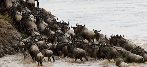 Wildebeest migration crossing the Mara river por BrianScott.