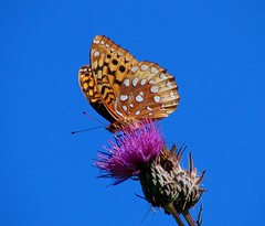 Frit on High (squatchman) Tags: flowers blue orange macro nature outdoors purple butterflies insects bugs lepidoptera wildflowers naturescenes flyinginsects thenatureconservancy insectsandspiders insectsspiders flowerswithinsects wunderground insectsonflowers anythingnature allthingsbeautifulinnature 10millionphotos itsabeautifullife beautifulbutterflies butterflybeauty amateurmacros macrophotosnolimits flickrinsects butterflygallery buzznbugz butterfliesofwisconsin