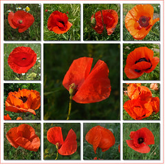 Rot wie Mohn (Harald52) Tags: rot collage natur pflanzen blten mohn