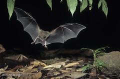 DNA_008486Fransenlippenfledermaus, Trachops cirrhosus, fringe-lipped bat