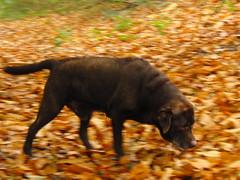 Autumn Scavenger (Alex Staniforth: Wildlife/Nature Photography) Tags: autumn dog alex leaves movement labrador action chocolate harley casio staniforth exfh20