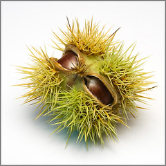 Sweet Chestnut {Explored} (Stephen Birch Photography) Tags: autumn white macro up close sweet flash sharp points chestnut spike nut conker sativa strobe castanea mygearandmepremium mygearandmebronze mygearandmesilver mygearandmegold mygearandmeplatinum