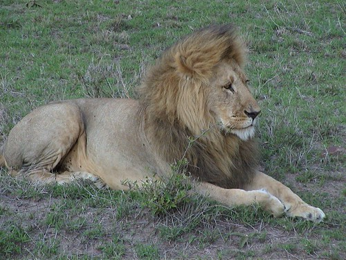 Mara Majestic Lion Solo Sitting
