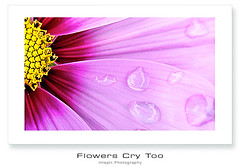 C r y (Imapix) Tags: canada flower art nature fleur rain canon photography photo bravo foto photographie image quebec pluie drop qubec cry cosmos raindrop imapix supershot 50faves gaetanbourque aplusphoto infinestyle fleurquipleure lesfleurspleurentaussi imapixphotography gatanbourquephotography