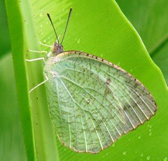 Silky Butterfly (Ibnu Yusuf) Tags: green butterfly ilovenature leaf pond insects malaysia selangor shahalam h5 naturesfinest supershot flickrsbest mywinners ibnuyusuf