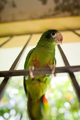 Parrot (Lidia Camacho) Tags: green leaves fence feathers explore parrots cotorra explored copyrightedallrightsreserved
