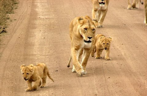 Lioness and cubs Serengeti
