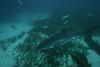 Small One (Mshai) Tags: ocean water danger canon eos shark dangerous 300d underwater canon300d pointer wildlife australia scuba killer fox jaws sharks hunter neptune breaching greatwhiteshark greatwhite whiteshark breach andrewfox 14mm ikelite whitesharks greatwhites neptuneisland rodneyfox