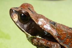 Truando Toad (Santiago Ron) Tags: macro nature animal ecuador rainforest amphibian frog toad frogs amphibians choco herps biodiversity herpetology anura amphibia bufonidae rhaebo rhaebohaematiticus