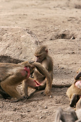 2007-08-18-11h25m10.IMG_5141e (A.J. Haverkamp) Tags: zoo thenetherlands amersfoort hamadryasbaboon papiohamadryas dierentuin dierenparkamersfoort mantelbaviaan
