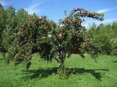 Not pictured: Serpent (Scriblerus) Tags: apple michigan orchard temptation satanic appletree freshfruit postlapsarian campmadron paradisal edenic