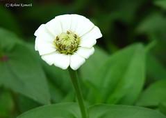 Wild Flower - White