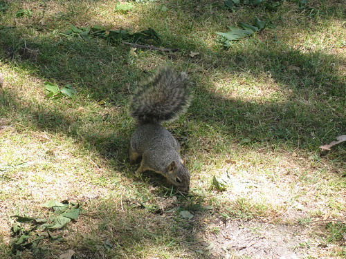 squirrel sniffs around among fallen, possibly black walnut leaves
