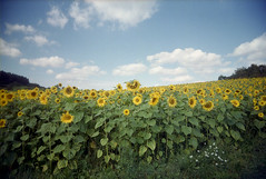 sunflower field (black slim devil) (.sxf) Tags: film 35mm landscape sunflowers expired landschaft vivitar uws sonnenblumen 22mm ultrawideslim fujicolorc200 blackslimdevil