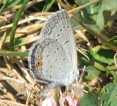 Eastern Tailed- Blue