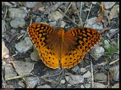 Great Spangled Fritillary - Speyeria cybele (emace) Tags: fab orange eye butterfly bug insect illinois cookcounty colorphoto greatspangledfritillary speyeriacybele crabtreenaturecenter specnature colorphotoaward barringtonil