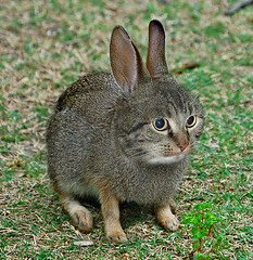Crabbit  ~(CatTheme'''A.Cat.What?''')~ (Gravityx9) Tags: rabbit cat photoshop chop ff 0607 newspecies 061707 lindabucklin