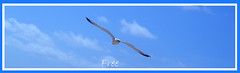 Free (markslawes) Tags: blue sky bird nature fly seagull free breeze glide