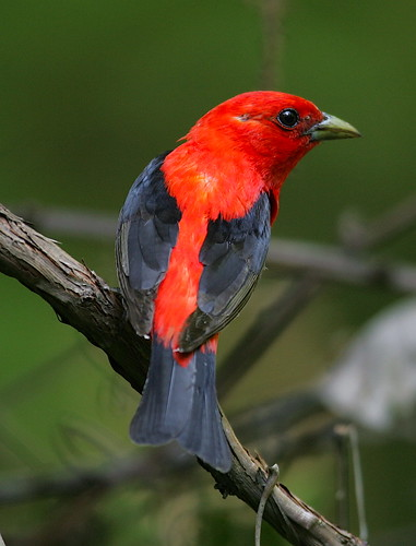 Scarlet Tanager   By Mark Trabue