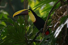 chesnut mandible toucan