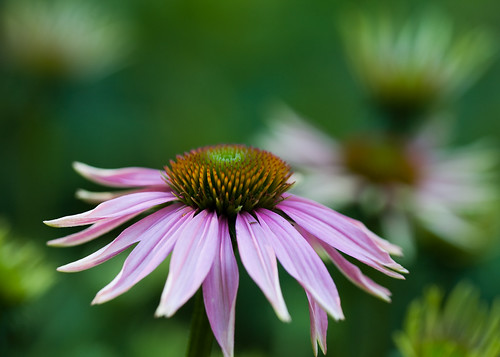 Purple Coneflower After a Rain