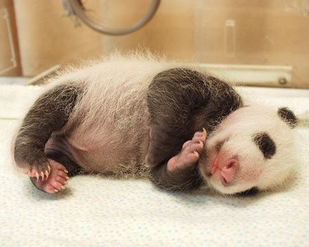 862110931 a4aada8599 Newly Born Pandas