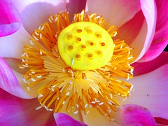 The First Morning Light (Ibnu Yusuf) Tags: pink flowers white macro yellow pond waterlily lotus malaysia selangor shahalam waterplant tropicalflowers h5 naturesfinest fantasticflowers mywinners flickrgold flickrbest superbmasterpiece ibnuyusuf