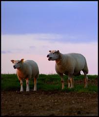 Baahhh (Kirsten M Lentoft) Tags: sunset denmark sheeps albertslund outstandingshots momse2600 diamondclassphotographer herstedhøje kirstenmlentoft