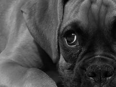 Kronos (jpnol) Tags: bw dog chien topf25 topv111 puppy topv333 noir kodak topc50 boxer bec et blanc chiot cotcmostfavorited youmademyday isawyoufirst jpnol duelwinner