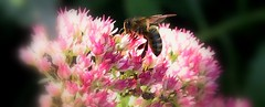 bee (Lisic) Tags: autumn flower macro up closeup garden insect close bee bialystok