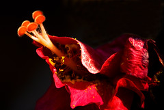 A Emergence of Nature (Jeff Clow) Tags: macro closeup garden backyard texas hibiscus dfw pure natue purity excellence canon500d nikkor18200mmvr