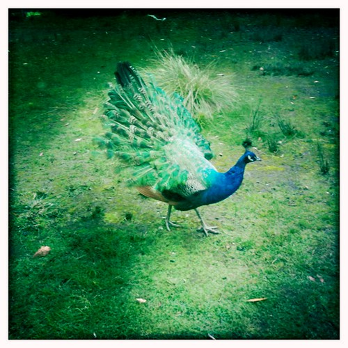 Peacock at Jubilee Lake