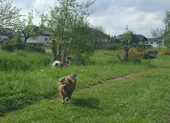 Teamtraining, Schnffelkurs - Mai 2010 (Cave Cani) Tags: hunde hundeschule teamtraining suchspiel hundetraining hundeerziehung nasenwelt mai2010 nasenarbeit suchspiele