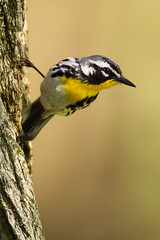 Yellow-Throated Warbler (TheNatureDude) Tags: yellowthroatedwarbler palosforestpreserve illinoisbirds