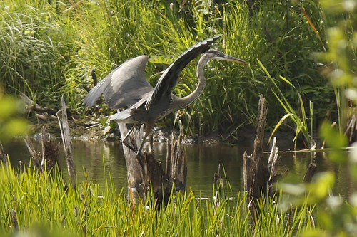 Great Blue Heron (27)