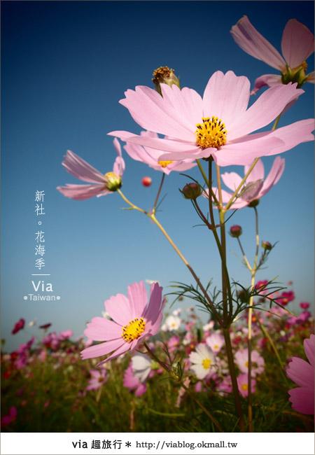 【2010新社花海】via帶大家欣賞全台最美的花海!21