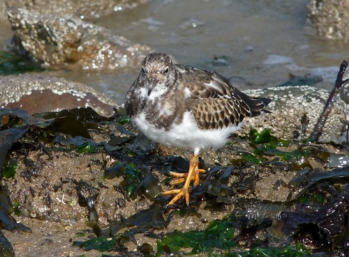 23510 - Turnstone, Mumbles, Gower